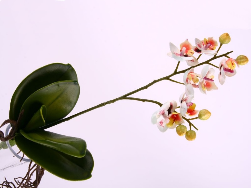 Phalenopsis Pflanze mini m Lau WEISS L35cm