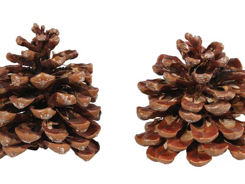 100 Stück Pinea Zapfen NATUR klein - zum dekorieren und Basteln