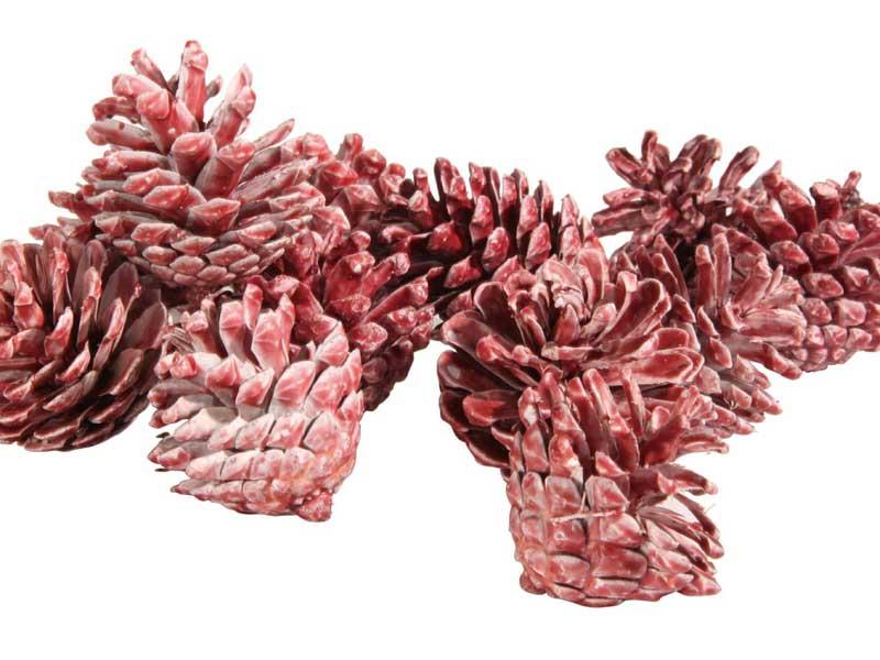 12 Schwarzkiefer Zapfen im Netz gewachst rot